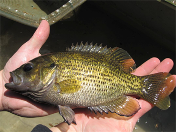 MARK HENFREY's Rock Bass
